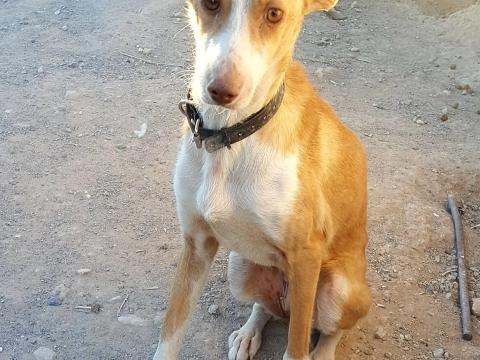 alba podenca perra adopcion (1)