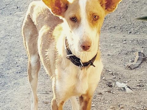 alba podenca perra adopcion (5)