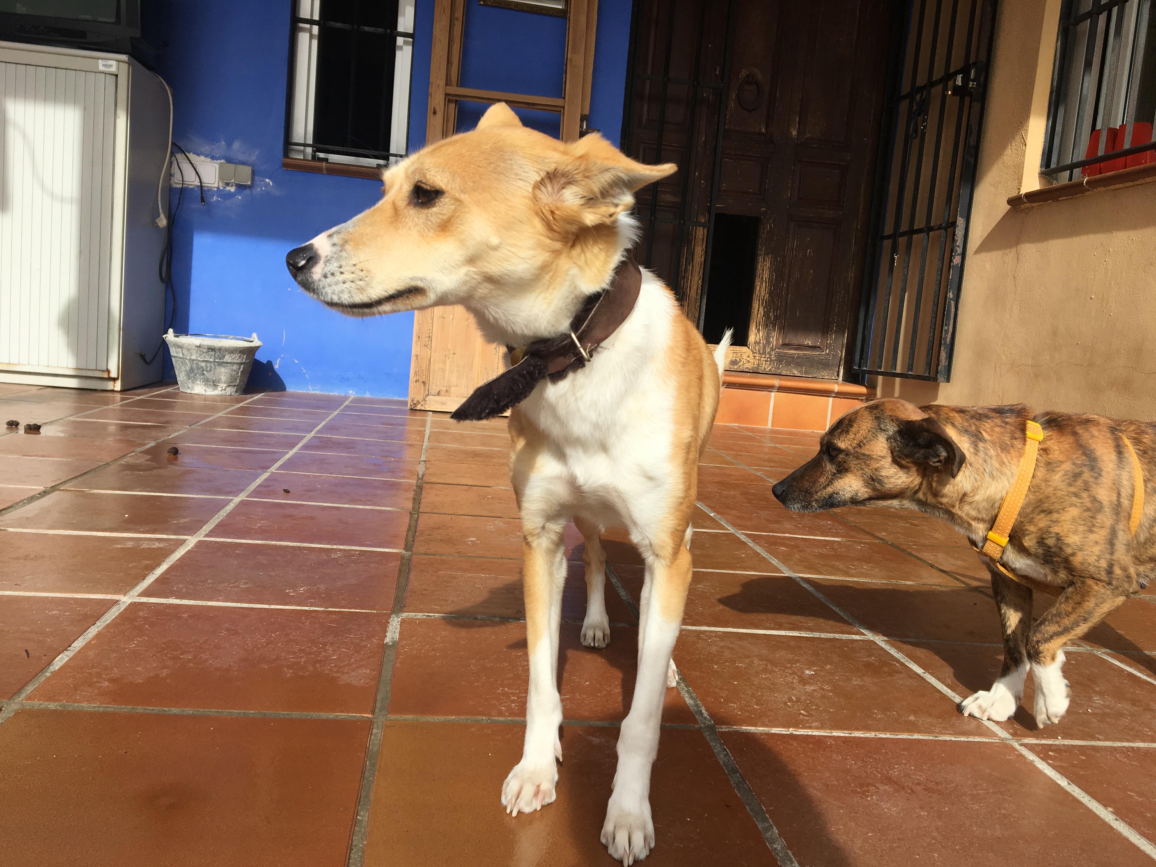 Almendra perra adopción por patas 3 de feb 2017 (4)