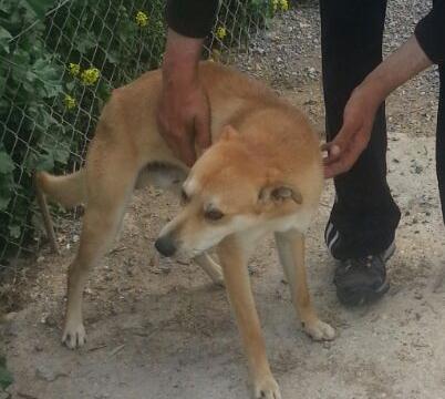 BOSTON fotos nuevas perro asociacion porpatas granada adopcion (5)