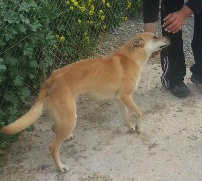 BOSTON fotos nuevas perro asociacion porpatas granada adopcion (6)