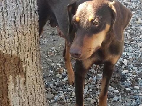 Canela perra adopcion perrera urgente enero2018 (1)