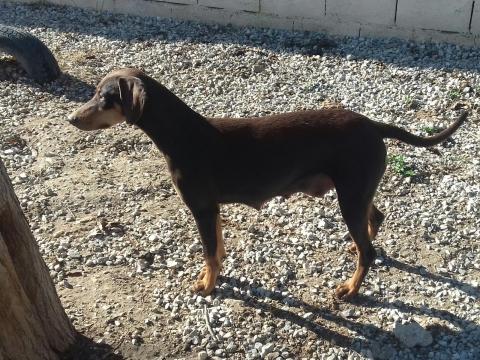Canela perra adopcion perrera urgente enero2018 (2)