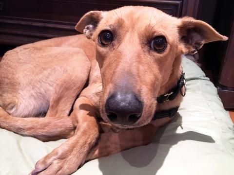 Dumbo en adopcion perro porpatas (1)