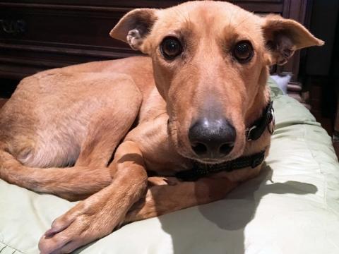Dumbo en adopcion perro porpatas (3)