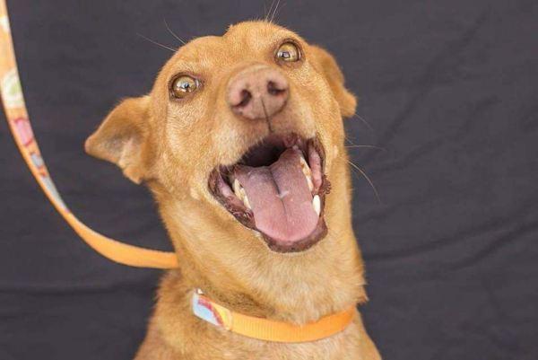Fito-perro-podenco-adopcion-7-años-2