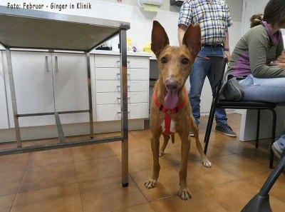 Ginger_Elmar_Klinik-Orotavet_20-02-20_1-b1