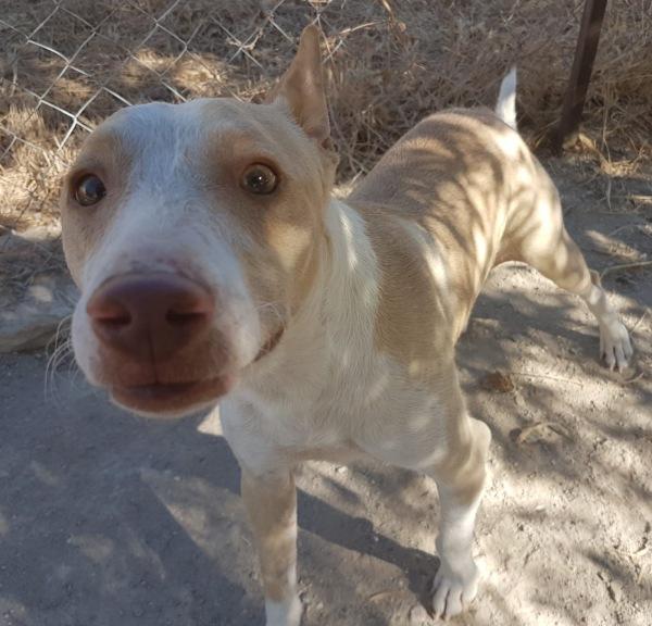 02-08-2019-juanito-perro-adopcion-podenco-porpatas-granadajpg-5