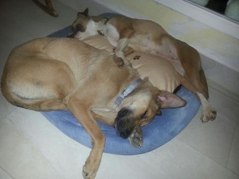 Lena rescatada de la perrera perra adopcion porpatas granada feb2018 (11)