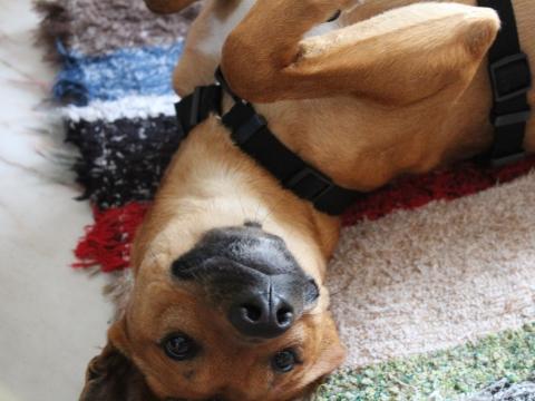 Lope perro adopcion porpatas granada (1)