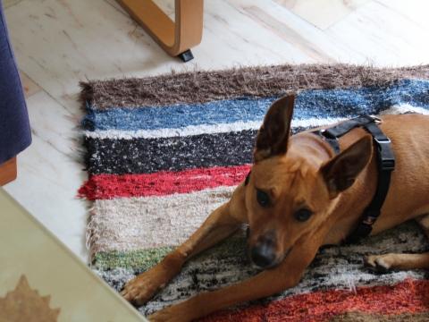 Lope perro adopcion porpatas granada (4)