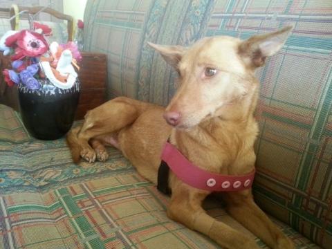 Megan perra adopcion porpatas granada mayo20118 (2)