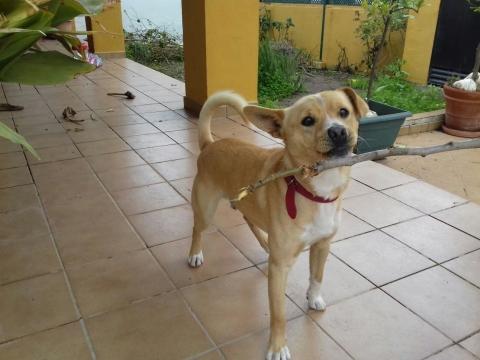 Nelson perro adopcion porpatas sevilla (1)