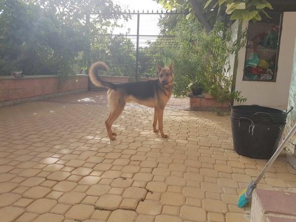 Odin perro adopcion porpatas julio2018 (2)