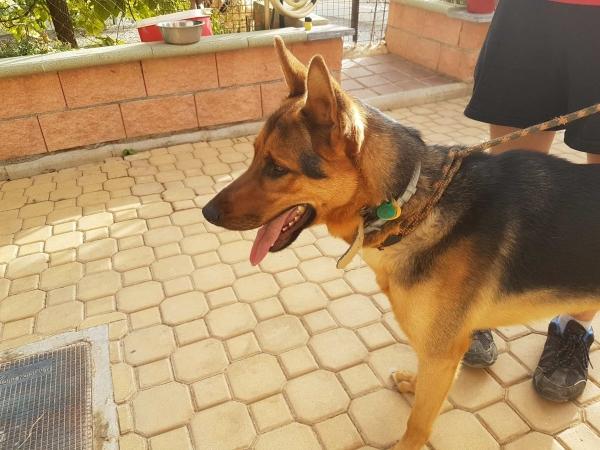 Odin perro adopcion porpatas julio2018 (3)