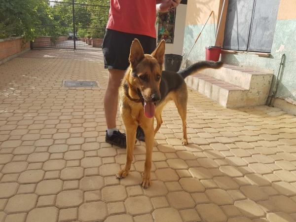 Odin perro adopcion porpatas julio2018 (6)