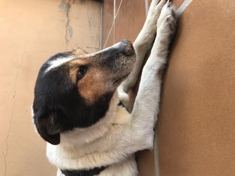 Pamela perra adopcion porpatas granada (5)