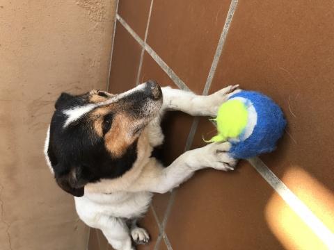 Pamela perra adopcion porpatas granada (6)