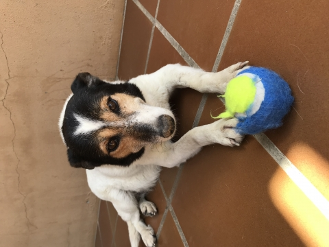 Pamela perra adopcion porpatas granada (7)