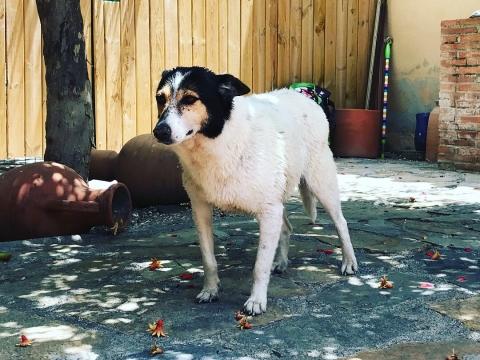 Pamela perra adopcion portas recogida 24-06-2018 (10)