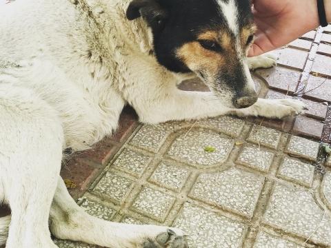 Pamela perra adopcion portas recogida 24-06-2018 (2)