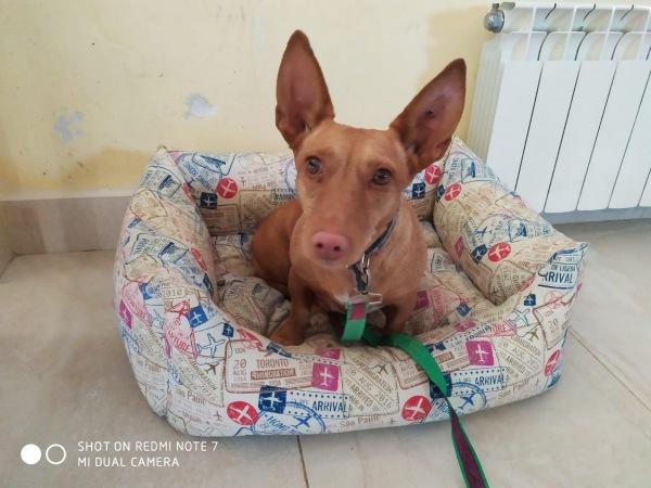 11-06-2019-Paty-perra-podenca-adopcion-granada-porpatas-1