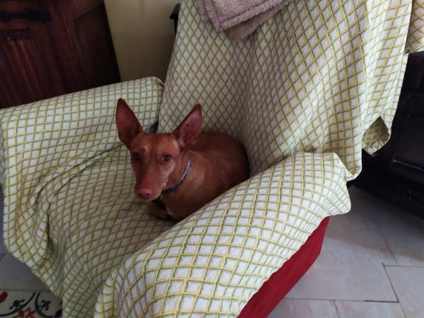 11-06-2019-Paty-perra-podenca-adopcion-granada-porpatas-3