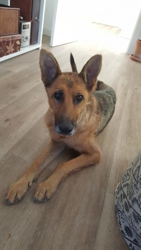 30-07-2019-Tula-pastora-alemana-perra-adopcion-porpatas-1
