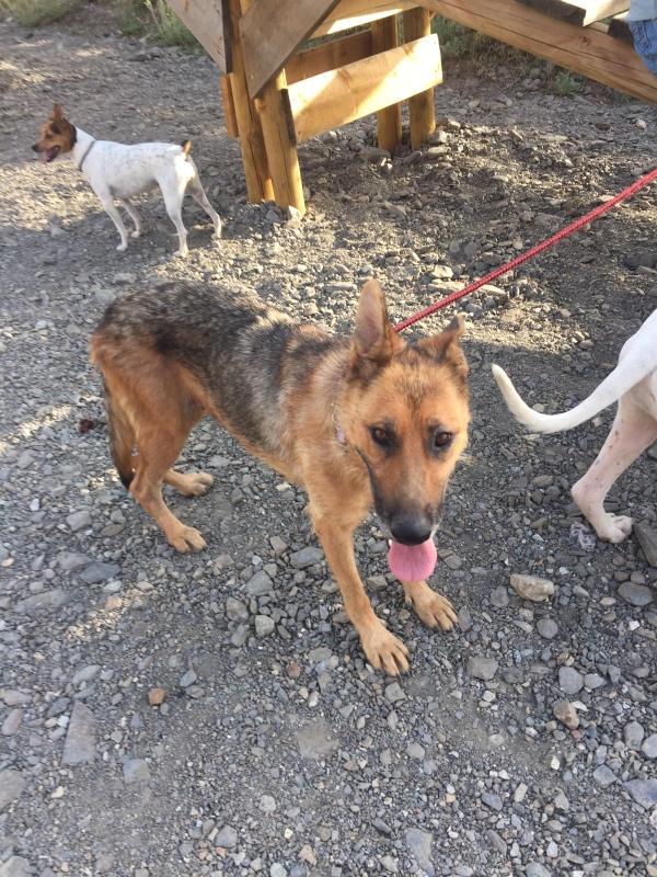 30-07-2019-Tula-pastora-alemana-perra-adopcion-porpatas-3