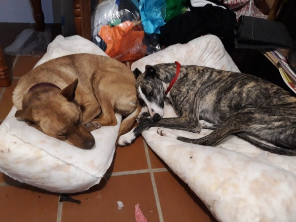 Valentín-perro-galgo-adopcion-marzo-2020-2