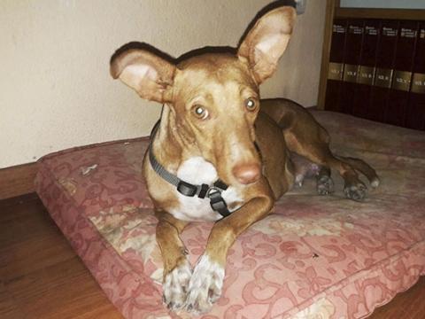 00 web Valeria perra podenca adopcion porpatas (1)