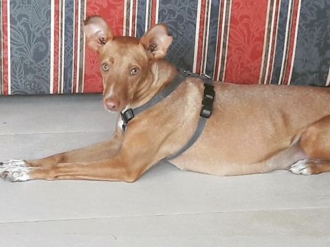 Valeria perra podenca adopcion porpatas (2)