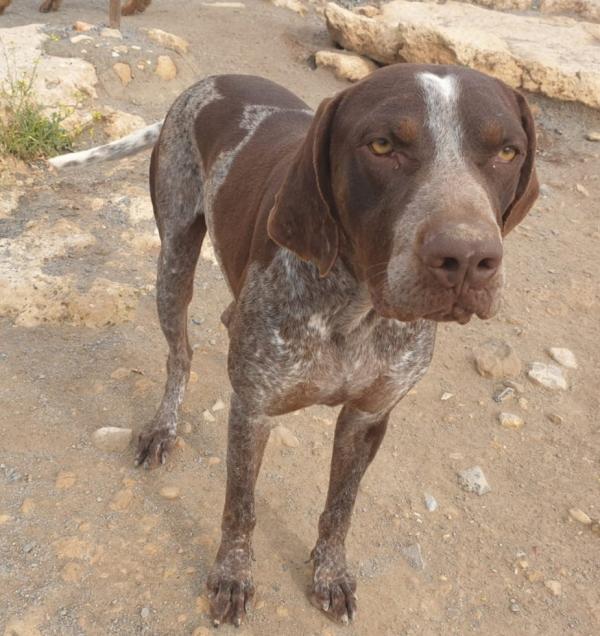 28-04-2020-Yako-perro-braco-adopción-porpatas-1